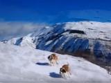 Le saint-bernard dans la neige