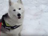 Un Husky sibérien fête son anniversaire dans la neige