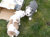 Des chiots Old English Bulldog jouent dehors