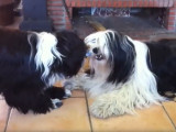 Deux Terriers du Tibet jouent