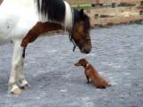 Un chien Teckel s'amuse avec un poney