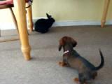 Une rencontre entre un chiot Teckel et un lapin noir