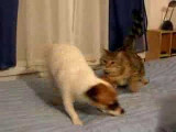 Un entraînement musclé entre un chien Jack Russel et un chat