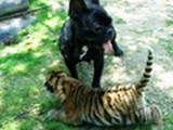 Une chienne Bouledogue adopte un tigreau