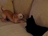 Un chien Chihuahua joueur face à un chat placide
