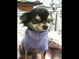 Un chien Chihuahua qui sourit