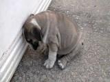 Cet adorable chiot Bulldog anglais tombe de sommeil