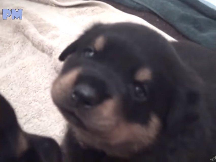 Vid O Compilation Des Chiots Rottweiler Les Plus Mignons