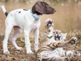 Ces chiens jouent avec... un tigre !
