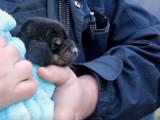 Un chiot sauvé d'une canalisation après 12 heures (vidéo)