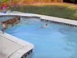 Une chienne se jette à l'eau pour sauver son chiot
