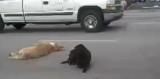 Un labrador courageux refuse d'abandonner son compagnon blessé