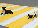 chiens errants pour la sécurité routière