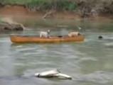 Un chien sauve deux autres chiens dans un canoe