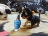 Incroyable ce chien est le plus petit au monde