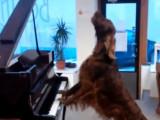 Elmo, un Irish setter, chante et joue du piano