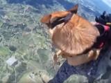 Saut en parachute pour ce chien militaire
