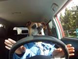 Ce Boxer conduit une voiture