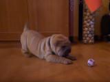 Zuko un Shar-Pei impressioné par une balle