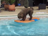 Un Caniche surfeur