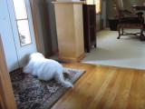 Ce Coton de Tulear imite le bruit de son jouet