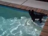 Remi un Cairn Terrier se baigne dans une piscine