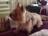 Un Cairn Terrier très bavard
