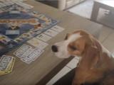 Ce Beagle triche au Beagle-Opoly