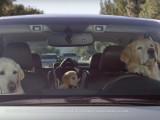Une famille de chien en voiture