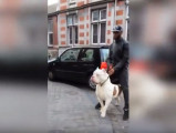 Le plus gros Pitbull de Paris
