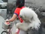 Le Bobtail, formidable cycliste
