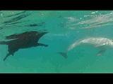 Un chien Labrador qui nage avec nos amis les dauphins