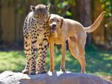 Une amitié entre une chienne Labrador et des guépards