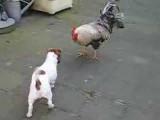 Friction entre un chien Jack Russel joueur et un coq offensif
