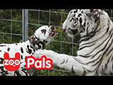 Franche camaraderie entre un chien et un tigre blanc