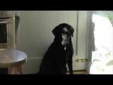 Le Labrador s'endort assis - vidéo d'un chien drôle