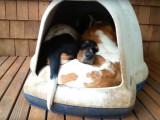 5 bassets hound couchés ensemble dans une caisse