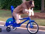 Le chien qui sait pédaler en faisant du vélo