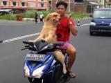 Sydney le chien chauffeur de moto-taxi