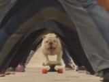 Otto le bulldog est le détenteur d'un nouveau record du monde en skateboard