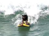 Les chiens aussi sont des champions de surf