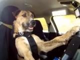 Porter, le premier chien à conduire une voiture