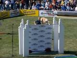 Record du monde de saut en hauteur par un lévrier greyhound