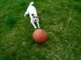 Un chien virtuose joue avec un ballon de basketball