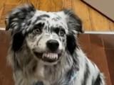 Un chien Berger Allemand dressé à retrousser sa lèvre supérieure