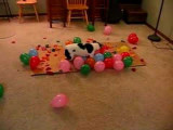 Un chien Jack Russel étonnant qui explose des ballons