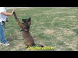 Voilà un chien Berger Malinois bien dressé