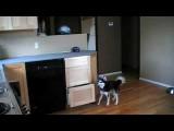 L'intelligence du chien pour atteindre la nourriture