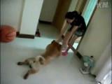 Un chien Chow-chow malin pour ne pas faire sa toilette