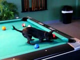 Un chien Chihuahua champion de billard